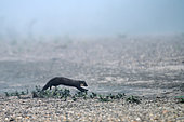 Pine marten (Martes martes) exploring its territory in foggy weather on a Loire beach, Loire Valley, France