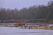 Colony of cranes (Grus grus) on a beach of the Loire at dawn, Loire Valley, France