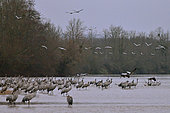 Colony of cranes (Grus grus) on a beach of the Loire at dawn, they take off in small groups, Loire Valley, France