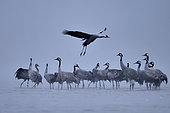Morning flight of Common crane (Grus grus) on the beaches of the Loire in January, Loire Valley, France