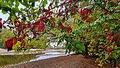 Paysage d'un bras secondaire en automne, feuilles de vigne vierge rouges au premier plan, Val de Loire, France