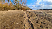 Traces of European Beaver (Castor fiber) on a beach of the Loire River in winter, France