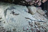 Canary fish. Round stingray (Taeniura grabata), Fish from the Canary Islands, Tenerife.