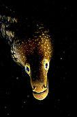 Tiger moray (Enchelycore anatina). Fish of the Canary Islands.