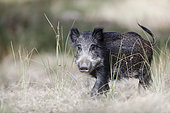 Portrait of a Wild boar (Sus scrofa), Charente-Maritime, France