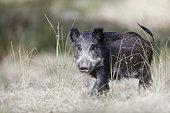 Portrait of a Wild boar (Sus scrofa), Charente-Maritime, France