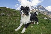 Chien de berger Border Collie, dans le parc national des Ecrins, Alpes, France