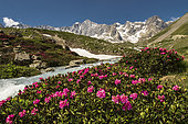 "Alpen Rose (Rhododendron ferrugineum), at the edge of the ""Petit Tabuc"" torrent, at the foot of the peaks of Chamoissière and Neige-Cordier, in the Ecrins Massif, Alps, France"
