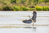 Grey heron (Ardea cinerea) landing on a pond in the Camargue, France