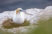 Fou de Bassan (Morus bassanus) au nid, sur la falaise de Troup Head, Ecosse