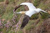 Fou de Bassan (Morus bassanus) en vol, sur la falaise de Troup Head, Ecosse