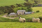 Moutons Scottish Blackface (Ovis aries), sur l'île de Mull, Ecosse