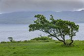 Tree and landscape of the Isle of Mull, Scotland