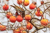 Common Starling (Sturnus vulgaris) feeding on persimmons in a persimmon tree, Vaucluse, France
