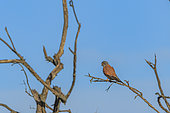 Kestrel (Falco tinnunculus) perched in a tree, Camargue, France