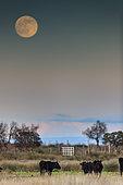 Lever de lune et taureaux de race camarguaise, Camargue, France