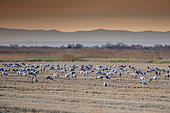 Common cranes (Grus grus) feeding in a field in the Camargue, France