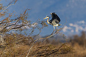 Grey heron (Ardea cinerea) on a branch in the Aiguamolls marsh, Spain