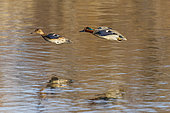 Common Teal (Anas crecca) pair in flight in the Aiguamolls marsh, Spain