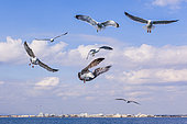 Yellow-legged Gull (Larus michahellis) in flight in the Mediterranean, off the coast of La Grande Motte, France
