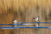 Common Teal (Anas crecca) landing on water in the Aiguamolls marsh, Spain