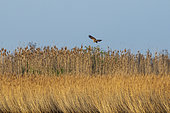 Marsh harrier (Circus aeruginosus) in flight, in the Aiguamolls marsh, Spain