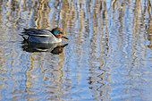 Common Teal (Anas crecca) male on water in the Aiguamolls marsh, Spain
