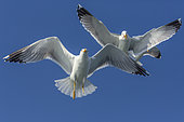 Yellow-legged Gull (Larus michahellis) in flight in the Mediterranean, France
