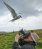 Arctic Tern (Sterna paradisaea) attacking a photographer to defend its nest, Farnes Islands, Great Britain