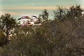 FGreat famingos (Phoenicopterus roseus ) in flight, Pont-de-Gau, Camargue, Franc