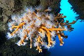 Orange Coral (Dendrophyllia Ramea). Marine invertebrate, cnidarian. Tenerife, the seabed of the Canary Islands.