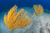 Yellow seafan (Leptogorgia viminalis), Underwater backgrounds of the Canary Islands, Gran Canaria..