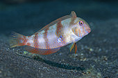 Pearly razorfish (Xyrichthys novacula). Fishes, underwater backgrounds of the Canary Islands, Tenerife.