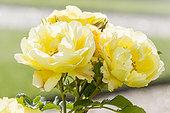 Rosa 'Gelber Engel' Breeder : Kordes (ALL) 2002