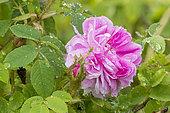 Rosa centifolia 'Soupert & Notting' Obtenteur : Pernet (FRA) 1874