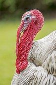 Domesticated Turkey (Meleagris gallopavo f. domestica), cock, Saxony-Anhalt, Germany, Europe