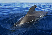 Pilot whale (Globicephala macrorhynchus) on the surface with the island of La Gomera in the background. Tenerife, Canary Islands.