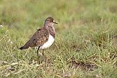 Senegal lapwing (Vanellus lugubris) on ground, Queen Elizabeth NP, Uganda