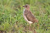 Senegal lapwing (Vanellus lugubris) chick, Queen Elizabeth NP, Uganda
