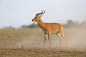Uganda Kob (Kobus thomasi), Queen Elizabeth National Park, Uganda