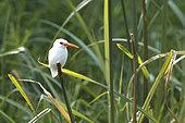 Malachite kingfisher (Corythornis cristatus) leucistic, Kazinga Channel, Uganda, June 2016