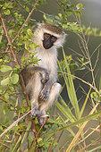 Velvet monkey (Chlorocebus aethiops) on a branch, Ishasha, Uganda