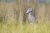 Shoebill (Balaeniceps rex), Mabamba wetland, Uganda