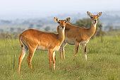 Uganda Kob, Murchison falls National Park, Uganda, July 2016
