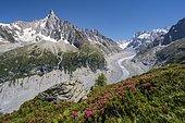 Pink alpine roses on the mountainside, glacier tongue Mer de Glace, behind Grandes Jorasses, Mont Blanc massif, Chamonix, France, Europe