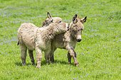 Donkey or (Equus asinus asinus), playing young animals, foals, Germany, Europe