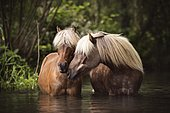 Two Classic Ponys (Equus) standing in the water and gently touching each other, Germany, Europe