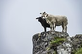 Two white sheep and black sheep on rocks, Lofoten, Nordland, Norway, Europe