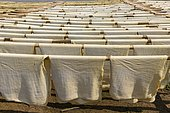 Fresh made rubber sheets at a Rubber plantation near Myeik or Mergui, Myanmar, Asia