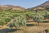 Olive plantation (Olea europaea), Crete, Greece, Europe